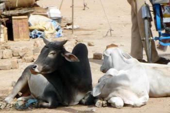 インドお牛様