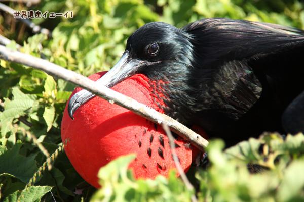 グンカンドリ(Frigate Bird )