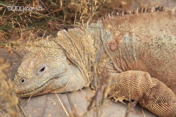 サンタフェリクイグアナ(Santa Fe Land Iguana )