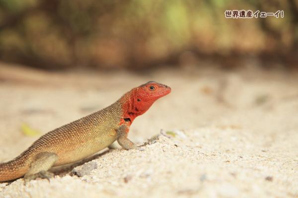 ヨウガントカゲ(Lava Lizard )