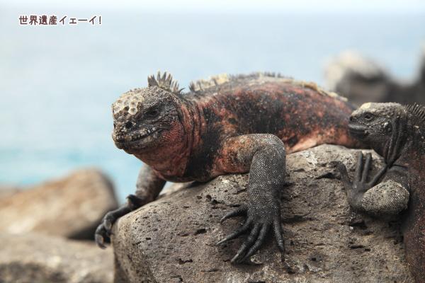 ウミイグアナ(Marine Iguana )