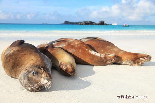 ガラパゴスアシカ(Galapagos Sea Lion )
