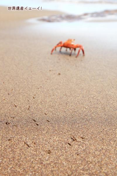 ガラパゴスベニイワガニ(Sally Lightfoot Crab)