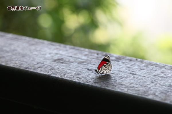 イグアスの滝-蝶88